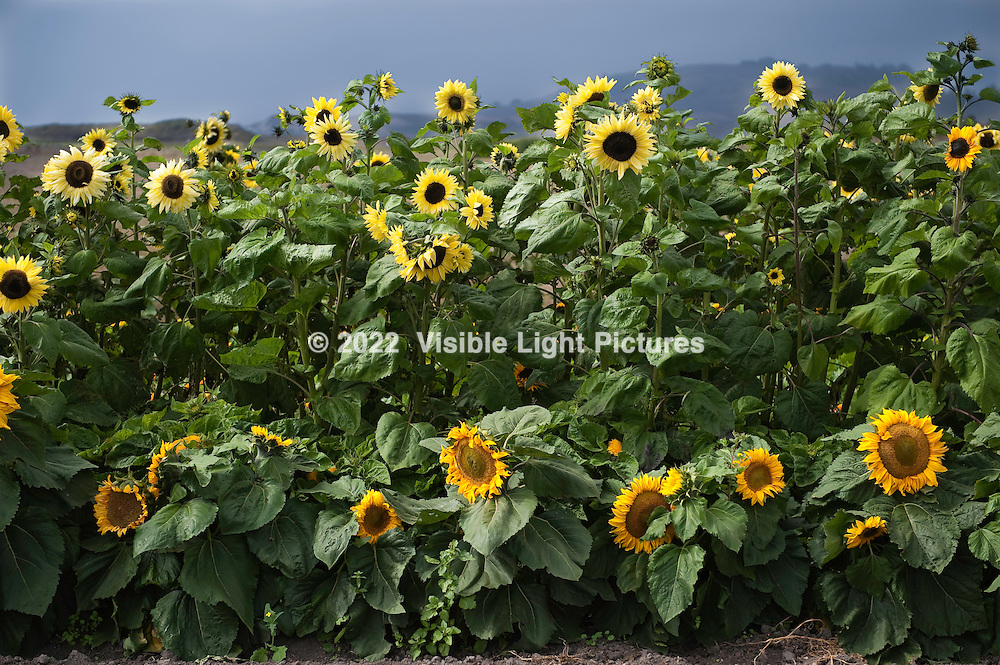 Yellow and orange sunflowers in a field.