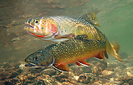 Brook Trout (with Yellowstone Cutthroat)<br />