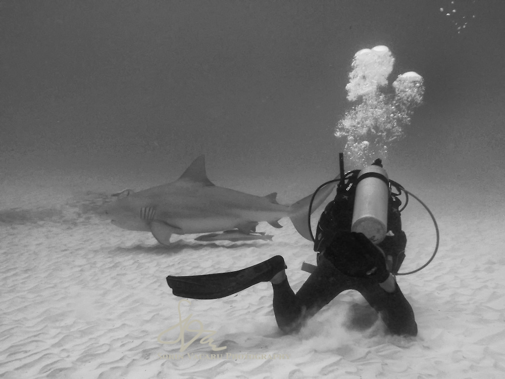Pregnant female bull shark swimming by a diver