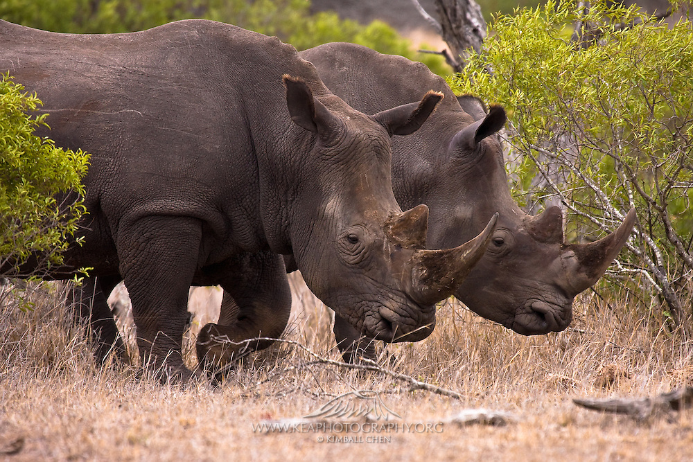 White Rhino pair