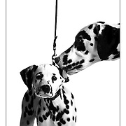 "SHOT 2/13/2004 - ""Rally"" (right), a male Dalmation that is almost two years old licks the ear of 12 week old male Dalmation puppy ""Cruise"" (left) as the two pose for a portrait Friday. ""Rally"" has already won points in AKC dog shows and is on his way to AKC Champion status while ""Cruise"" has yet to be entered in an AKC dog show but his owner, Melissa Schultz, plans on showing him in the future. The Rocky Mountain Cluster dog show is one of the largest dog shows in the West and features 162 different breeds of dogs and draws close to 4,000 canines a day. The four day long event is held cooperatively between the Plum Creek Kennel Club and the Colorado Kennel Club. The dog show draws people and dogs from all across the country as well as Mexico, Canada and Europe..(Photo by MARC PISCOTTY / ©2004)"
