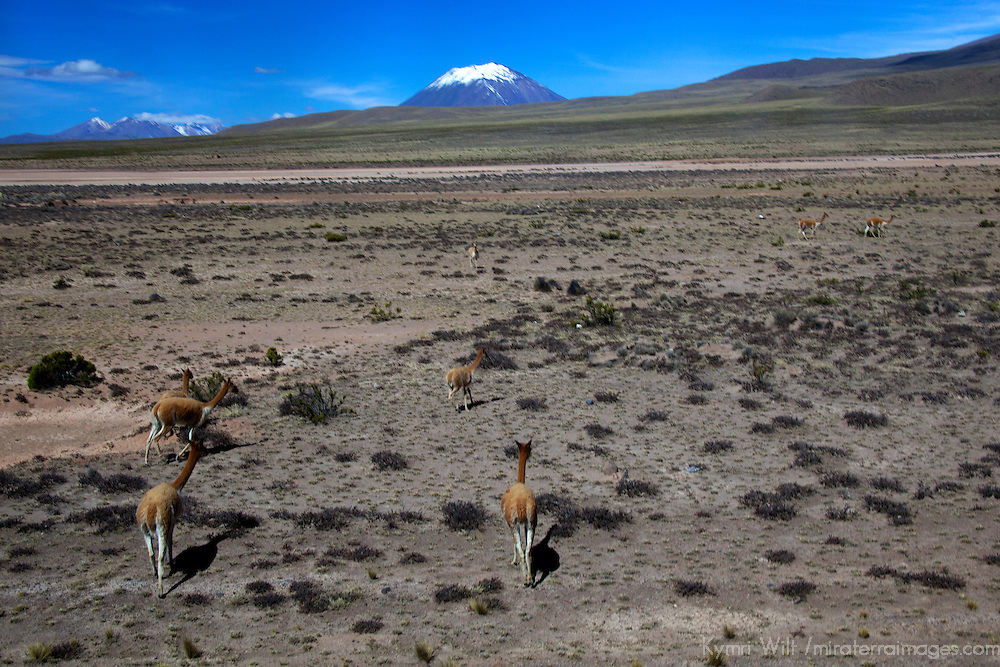 South America, Peru, Salinas and Aguaga Blanca National Reserve. Vicuñas protected in the landscape of Pampas Cañahuas.