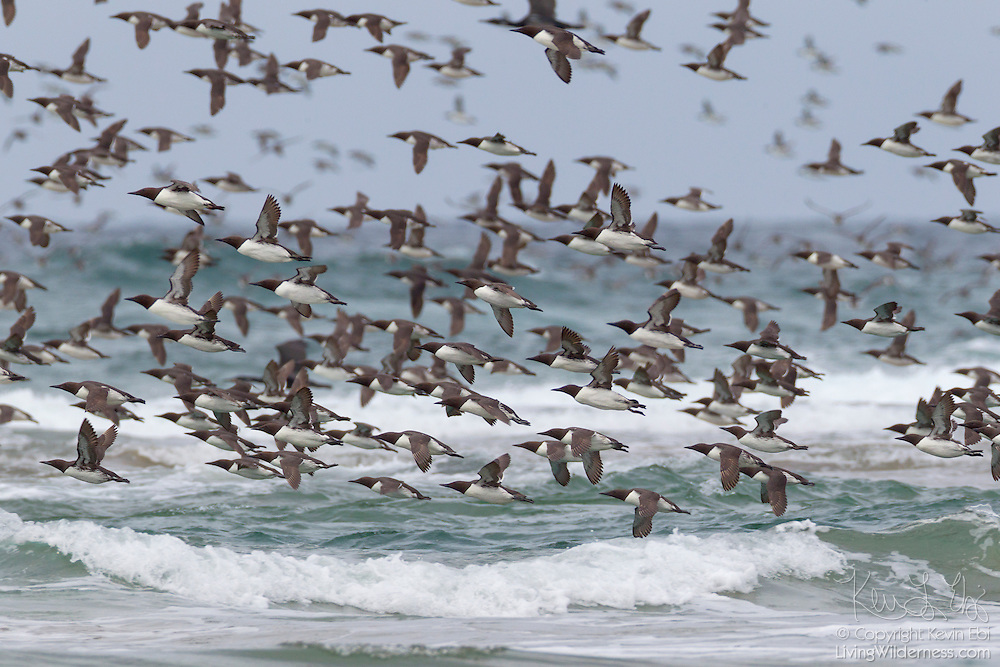 A large flock of Common Murres (Uria aalge), also known as Common Guillemots, flies over Pacific Ocean near Chapman Point in Cannon Beach, Oregon. The area hosts one of the three largest breeding colonies of the murres on the Oregon coast.