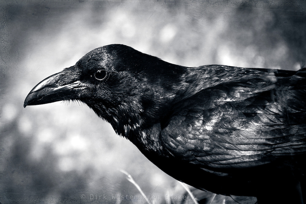 Close-up of a raven.