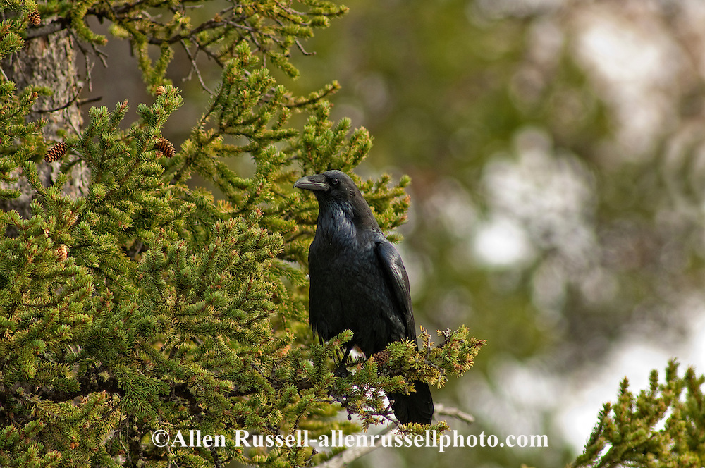 Common Raven (Corvus corax), Yellowstone National Park, Wyoming