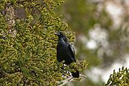 Common Raven (Corvus corax), Yellowstone National Park, Wyoming