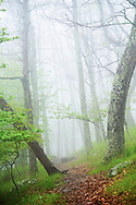 A foggy atmospheric forest on the Appalachian Trail in Shenandoah National Park, Virginia.