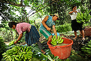 Marcelina Vera, 27, (left) Eugenia Ramos, 32, (center) and Enrique Alanes, 27, (right) harvest bananas in the Chapare region of Bolivia using a pully system that the Bolivian government helped finance as part of their efforts to encourage coca growers to repurpose their land for other crops, such as bananas, papaya or pineapples.