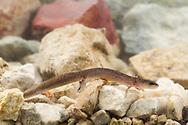 Comal Springs Salamander (Eurycea sp.)<br /> TEXAS: Hays Co.<br /> Comal Springs<br /> 29-Oct-2015<br /> J.C. Abbott &amp; K.K. Abbott