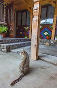 Domestic cat, tabby, traditional house, Romainia.