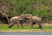 The Sri Lankan Elephant (Elephas maximus maximus)