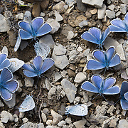 Boisduval blue butterfly (Plebejus icarioides, in the Lepidoptera order of insects), gather in Mount Robson Provincial Park, British Columbia, Canada.