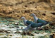 Sri Lankan Wildlife. Green Imperial Pigeon