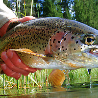 rainbow trout in hand being released after caught on a fly.