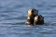 An alert California Sea Otter (Enhydra lutris) and pup - Monterey, California