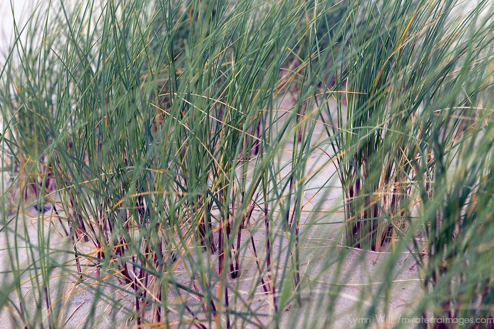 Europe, Ireland, Brittas Bay. Dune Grass.