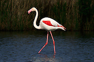 As every good model, this beautiful pink flamingo just wanted to be photographed... Taken at the reserve of Pont de Gau in Camargue, France