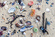 Shells, urchins and beach debris washed ashore at low tide, Natures Valley, Western Cape, South Africa