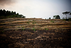 Trunks piled up on a deforested piece of land, Yen Bai Province, Vietnam, Southeast Asia