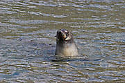 Antarctic Fur Seal.Arctocephalus gazella.swimming.Stromness, South Georgia.1 January 2004