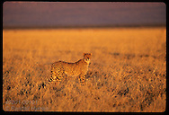 Yr-old male cheetah gazes over grassy plains of central plateau region at sunset; Otjiwarongo. Namibia