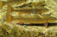 School of Brook Trout<br />