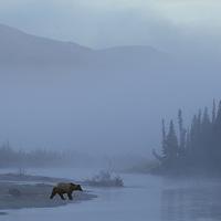 (m) Brown Bear, Ursus arctos,Nenana River near Cantwell, Alaska, USA