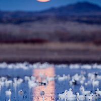 USA, New Mexico, Bosque del Apache National Wildlife Refuge, Flock of Snow Geese (Chenhyperborea hyperborea) in lake with rising full moon at dusk on winter evening