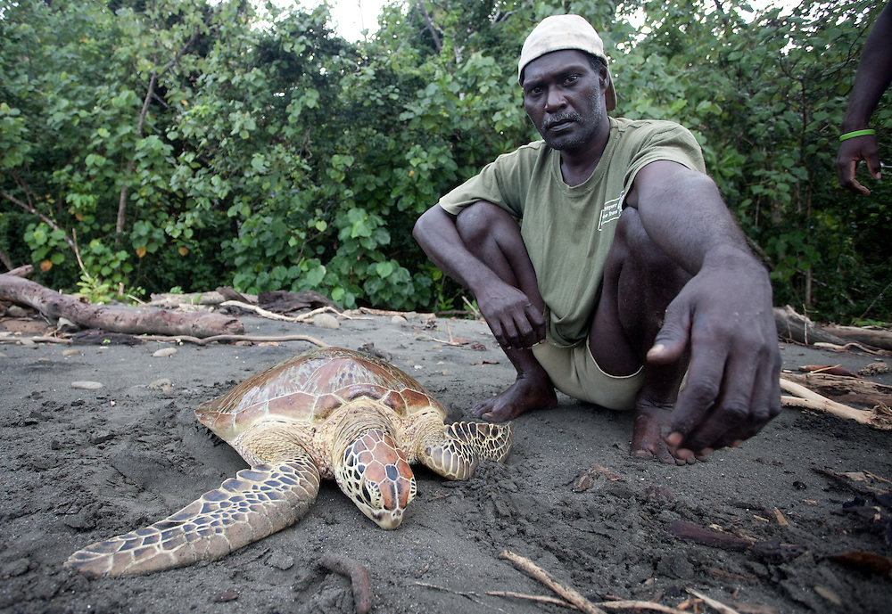 A green turtle is brought onto a beach as part of a monitoring program