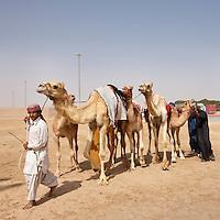 United Arab Emirates, Dubai, Jockeys walking with racing camels through dusty parking lot at Al Wathba Racetrack