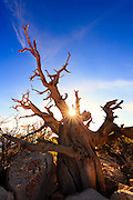 "Sunrise over ""The Grandfather"", an weathered tree on the South Rim of Grand Canyon National Park."