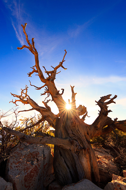 """Sunrise over """"The Grandfather"""", an weathered tree on the South Rim of Grand Canyon National Park."""