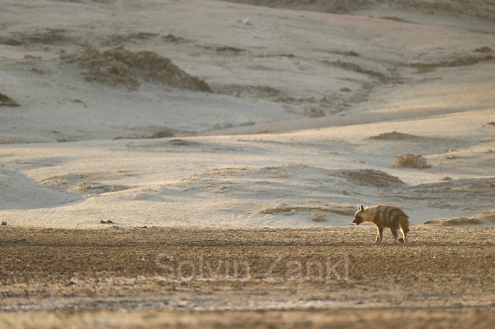 Brown hyena (Parahyaena brunnea oder Hyaena brunnea), Tsau-ǁKhaeb-(Sperrgebiet)-Nationalpark, Namibia | Schabrackenhyäne (Parahyaena brunnea oder Hyaena brunnea) in der nähe des Baus, Sperrgebiet National Park, Namibia