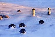 Emperor penguins resting, Aptenodytes forsteri, Antarctica
