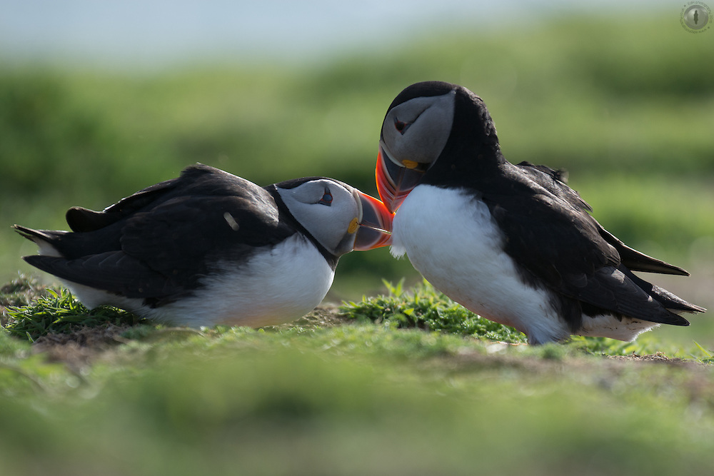 A puffin pair grooming each other to strengthen and confirm their pair bond on Skomer, Pembrokeshire.
