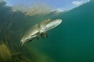 Northern Pike <br /> <br /> Viktor Vrbovsky/Engbretson Underwater Photography