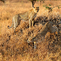 Sibling cheetahs watch mom stalk her prey before going to help in the hunt.