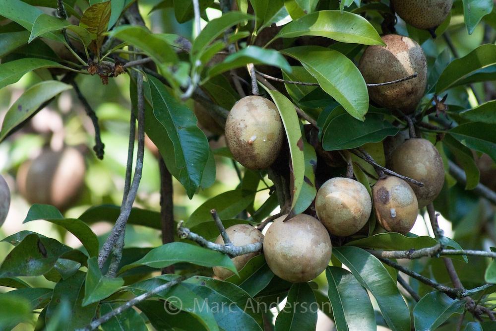Longan fruit tree with ripe longans, Thailand