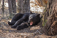 Waking from a lengthy nap, this black bear yawns and stretches before moving out of the shade of the pines and beginning to forage for food.