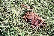 The magnitude of the blast was so powerful that the bodies of victims were torn apart and thrown away.This is a torn out leg lying far outside the factory in the bushes. Image © Balaji Maheshwar/Falcon Photo Agency