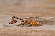 Mantidfly (Dicromantispa sayi)<br /> TEXAS: San Patricio Co.<br /> Welder Wildlife Foundation<br /> Sinton, 12.5 km NE on Hwy 77<br /> 24.May.2011<br /> J.C. Abbott #2504
