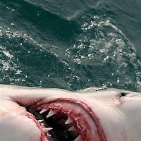 Great white shark teeth and ampullae of Lorenzini