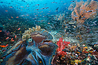 Giant clam reefscape with schooling juvenile convict blennies. Raja Ampat, Indonesia. Canon 1Ds Mark II, Canon 16-35mm f2.8 USM lens @ 16mm, Seacam underwater housing, 2 x Ikelite DS-125 strobes. 1/80s @ f/6.3, ISO 200.