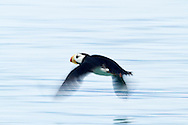 Horned Puffin Skimming Above Water, Alaska Maritime National Wildlife Refuge near Lake Clark National Park, Alaska
