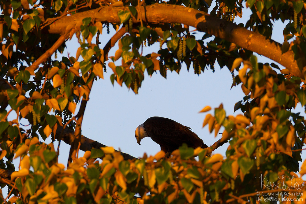 An adult bald eagle (Haliaeetus leucocephalus) looks down in search of food from its perch in a cottonwood tree in Kirkland, Washington.