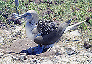 Blue Footed Booby sheltering chick,  Galapagos Islands.