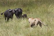 African lion stalking herd of cape buffalo, Duba Plains, Botswana