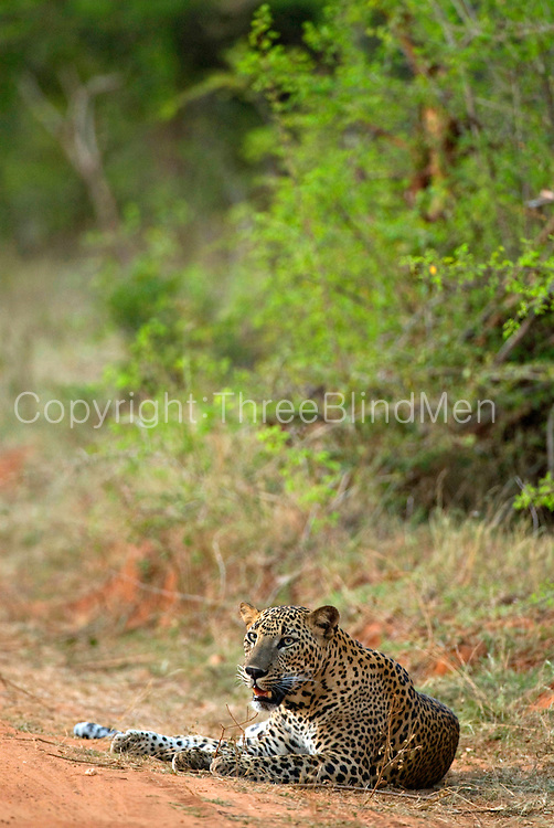 Leopard in Yala National Park,