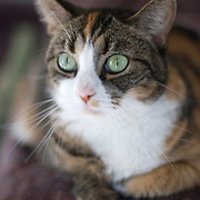 Pretty calico / tabby cat with green eyes.