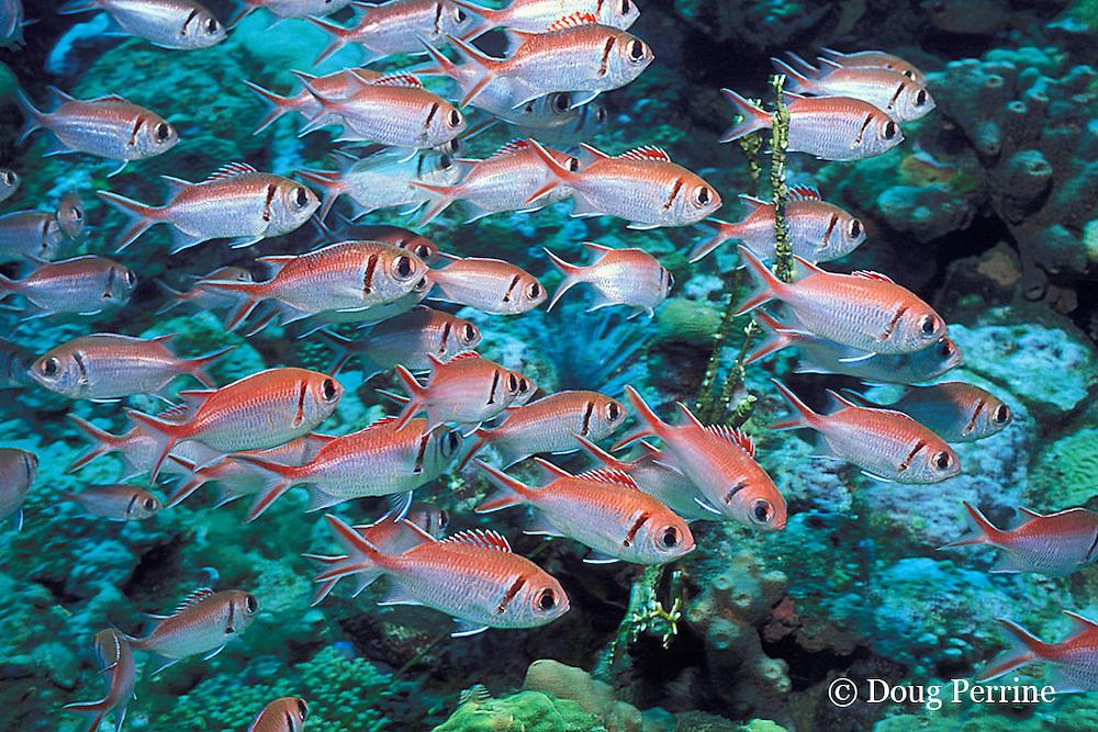 blackbar soldierfish, Myripristis jacobus, The Steps, Saint Vincent, St. Vincent & the Grenadines, West Indies ( Eastern Caribbean Sea )